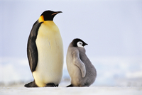 Emperor penguin with well fed chick, Aptenodytes forsteri, A