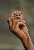 Brown mouse lemur in man's hand, Microcebus rufus, Madagasca