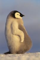 Emperor penguin chick, Aptenodytes forsteri, Weddell Sea, An