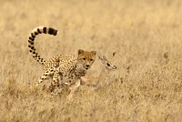 Cheetah male, Acinonyx jubatus, chasing Thomson's gazelle fa