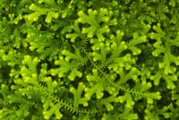 Liverwort sp., Iguazu National Park, Argentina 02314006404| 写真素材・ストックフォト・画像・イラスト素材|アマナイメージズ