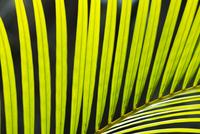 Palm frond, Iguacu National Park, Brazil 02314006426| 写真素材・ストックフォト・画像・イラスト素材|アマナイメージズ