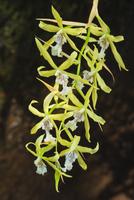 Orchid, Miltonia flavescens, Iguazu National Park, Argentina 02314006441| 写真素材・ストックフォト・画像・イラスト素材|アマナイメージズ