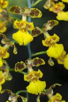 Orchid, Oncidium bifolium, Iguazu National Park, Argentina 02314006442| 写真素材・ストックフォト・画像・イラスト素材|アマナイメージズ