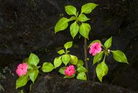 Impatiens flowers sp., Iguazu National Park, Argentina 02314006482| 写真素材・ストックフォト・画像・イラスト素材|アマナイメージズ