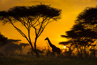 Giraffe at sunrise, Giraffa camelopardalis, Serengeti Nation