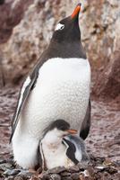 Gentoo penguin parent with chick, Pygoscelis papua, Antarcti