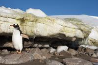Gentoo penguin near melting ice, Pygoscelis papua, Cuvervill