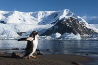 Gentoo penguin on shoreline, Pygoscelis papua, Cuverville Is