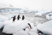 Gentoo penguins amidst melting ice on rocky beach, Pygosceli