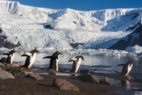 Gentoo penguins on shoreline, Pygoscelis papua, Cuverville I