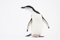 Chinstrap penguin, Pygoscelis antarctica, Antarctica
