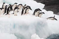 Adelie penguins diving into water, Pygoscelis adeliae, Antar