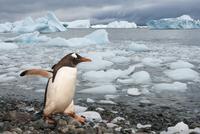 Gentoo penguin on rocky beach, Pygoscelis papua, Antarctica