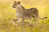 Lioness and cubs, Panthera leo, Serengeti National Park, Tan