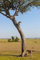 Cheetah juveniles at acacia tree, Acinonyx jubatus, Masai Ma