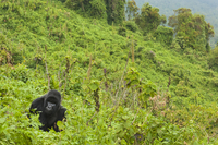 Mountain gorilla foraging in clearing at edge of forest, Gor