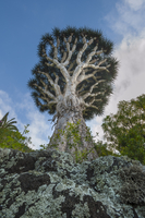 Dragon tree, Dracaena draco, Tenerife Island, Canary Islands
