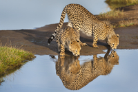 Cheetahs drinking, Acinonyx jubatus, Serengeti National Park