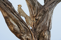 Cheetah in fig tree, Acinonyx jubatus, Masai Mara National R