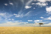 Acacia tree and grassland, Acacia drepanolobium, Masai Mara