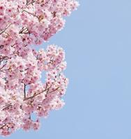 桜(陽光)と青空 02317002137| 写真素材・ストックフォト・画像・イラスト素材|アマナイメージズ