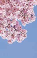 桜(陽光)と青空