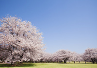 桜(ソメイヨシノ)と芝生の広場 02317002143| 写真素材・ストックフォト・画像・イラスト素材|アマナイメージズ