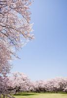 桜(ソメイヨシノ)と芝生の広場 02317002145| 写真素材・ストックフォト・画像・イラスト素材|アマナイメージズ
