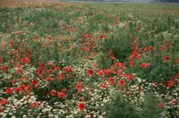 ポピーの花畑 フランス 02319000014| 写真素材・ストックフォト・画像・イラスト素材|アマナイメージズ