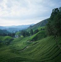 紅茶畑 マレーシア 02319000017| 写真素材・ストックフォト・画像・イラスト素材|アマナイメージズ