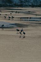 夜明けの鶴 北海道 02319000026| 写真素材・ストックフォト・画像・イラスト素材|アマナイメージズ