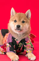 柴犬 02322001120| 写真素材・ストックフォト・画像・イラスト素材|アマナイメージズ