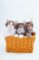 籠の中に猫三匹 02322001202| 写真素材・ストックフォト・画像・イラスト素材|アマナイメージズ