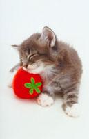 いちごと猫 02322001356| 写真素材・ストックフォト・画像・イラスト素材|アマナイメージズ