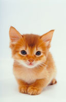 見つめる猫 02322001388| 写真素材・ストックフォト・画像・イラスト素材|アマナイメージズ
