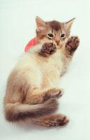 寝そべった猫 02322001390| 写真素材・ストックフォト・画像・イラスト素材|アマナイメージズ