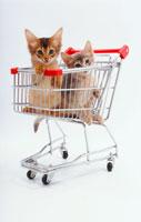 カートに入った猫二匹 02322001406| 写真素材・ストックフォト・画像・イラスト素材|アマナイメージズ