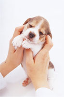 両手にのる子犬 02322001489  写真素材・ストックフォト・画像・イラスト素材 アマナイメージズ