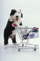 カゴにおもちゃを入れる犬(オールドイングリッシュシープドッグ) 02322002305| 写真素材・ストックフォト・画像・イラスト素材|アマナイメージズ