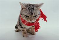 マフラーを巻いた猫 02322002608| 写真素材・ストックフォト・画像・イラスト素材|アマナイメージズ
