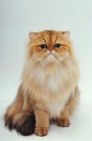 お座りする猫 02322002638| 写真素材・ストックフォト・画像・イラスト素材|アマナイメージズ