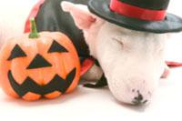 ハロウィン衣装の犬 02322002645| 写真素材・ストックフォト・画像・イラスト素材|アマナイメージズ
