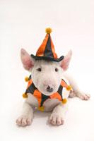 ハロウィン衣装の犬 02322002647| 写真素材・ストックフォト・画像・イラスト素材|アマナイメージズ
