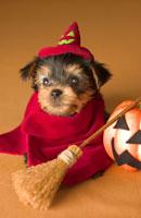 ハロウィン衣装の犬 02322002652| 写真素材・ストックフォト・画像・イラスト素材|アマナイメージズ