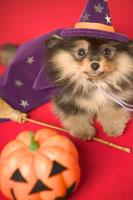 ハロウィン衣装の犬