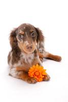 ガーベラと犬(ダックスフンド) 02322002857| 写真素材・ストックフォト・画像・イラスト素材|アマナイメージズ