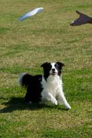 外で遊ぶ犬(ボーダーコリー) 02322002892  写真素材・ストックフォト・画像・イラスト素材 アマナイメージズ