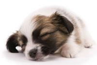 眠る犬 02322003154| 写真素材・ストックフォト・画像・イラスト素材|アマナイメージズ