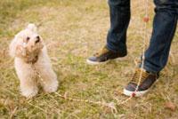 お散歩する犬 02322003256  写真素材・ストックフォト・画像・イラスト素材 アマナイメージズ